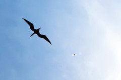 Frigatebird and dragonfly (toniiiko) Tags: birds dominicanrepublic santodomingo canon450d canonefs1855mmf3556is