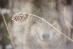 Spirit. (Rebecca McCreary) Tags: winter snow cold grass forest wolf spirit wilderness wintertime necessity rebeccamccreary