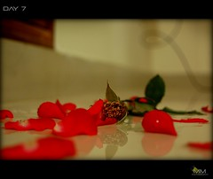 Day 7 (madhan mohan) Tags: red rose redrose 365 day7 shelovesme helovesme lovesme lovesmenot project365 7365