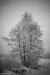 A magnificent birch. (Hawkea) Tags: christmas winter snow canon suomi finland landscape neve natale finlandia paesaggiinvernali eos500d eoskissx3 rebelt1i hawkea