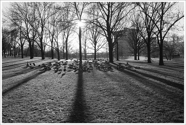Geese On The Arch Grounds