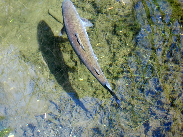salmonid