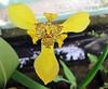 Anggrek (Mangiwau) Tags: orchid yellow festival indonesia java blood eid goat goats jakarta gore cutting lamb lambs throat kambing bogor slaughterhouse sacrifice kuning slaughtering adha anggrek sacrificial potong idul dipotong