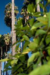 Séville / Jardin de l'Alcazar / Palmiers à l'oranger (Sébastien Lucas) Tags: jardin alcazar paysage séville palmier oranger andalousie feuille tronc feuillage ciebleu jardinméditerranéen jardinaraboandalou