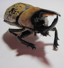 Giant Beetle 4 (Barb ) Tags: bug insect scary beetle spotted pinchers