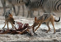 Jackals and springbok carcass