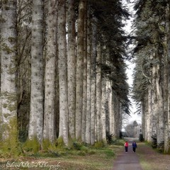 NOBLE FIRS AT WOODSTOCK GARDENS. (Edward Dullard Photography. Kilkenny, Ireland.) Tags: wood trees kilkenny ireland tree nature field forest landscape eire woodstock paysage magical emeraldisle enchanted irlanda ierland countykilkenny inistiogue edwarddullardphotography