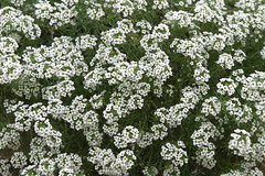 Sweet Alyssum 'Snow Princess' 11-1-10 (Powell Gardens, Kansas City's botanical garden) Tags: fall sweet late alyssum snowprincess