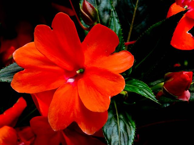IMG_2431 Red, hong se , 红色,花