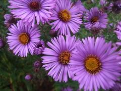 SYMPHYOTRICHUM novae-angliae 'Barr's Violet'