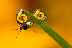 GREENFLY DOUBLE DEWDROP REFRACTION (GOLDENORFE) Tags: flower macro water insect greenfly photographerschoice dewdroprefraction dewdroprefractions