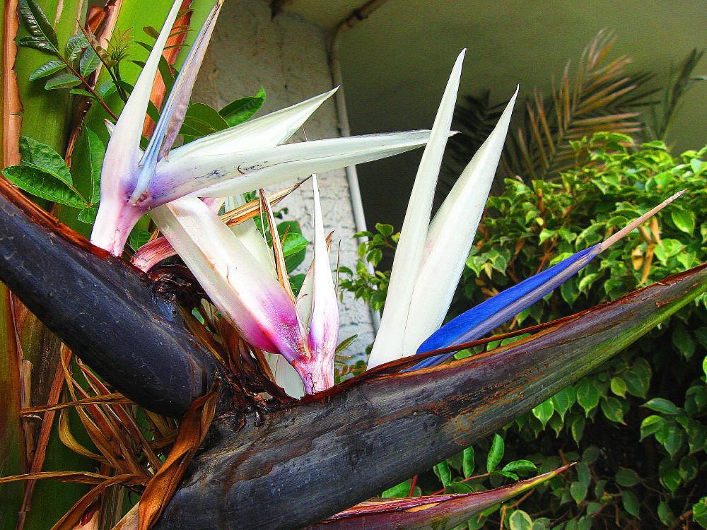 22-01-2011-bird-of-paradise