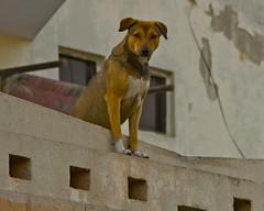 Watchtower (Mohsin Kazmi) Tags: pakistan dog house brick tower canon asian high mutt asia south watch guard porch falcon perch complex lahore alert stucco mohsin watchtower perk threshold perky 50d kazmi