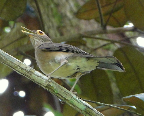 Paraulata ojo de candil [Bare-eyed Thurush] (Turdus nudigenis nudigenis)