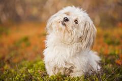 5/365 - Curious (Inelund) Tags: 365 365days autumn dog animals photography canoneos5dmarkii