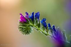 wild flower n8 (Bouhsina Photography) Tags: nature couleur sauvage maroc ttouan bouhsina bouhsinaphotogrphy canon 5diii ef100 closeup macro