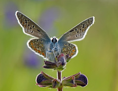 Eye Contact (Juergen6363 busy) Tags: outdoor butterfly insect wings green commonblue nikon nikkor d800e summer flower animal macro field landscape