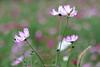 コスモスパーク - Cosmos park. (shig.) Tags: cosmos flowers flower nature natural plant plants bokeh 花 canon eos 70d 岩手県 一戸町 奥中山高原