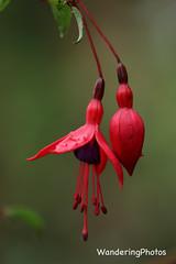 Fuschia - Stannington Northumberland England (WanderingPJB) Tags: flowers red england northumberland stannington fuchsia 7dwf fabulousflowers smileonsunday img colourfulworld