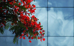 A Closer Look (osvaldoeaf) Tags: flowers blue autumn red brazil reflection tree green nature glass leaves lines clouds garden petals spring branch blossoms cerrado reflexions flamboyant goinia gois poinciana platinumphoto wonderfulworldofflowers panoramafotogrfico