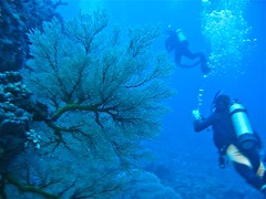 Gorgonian Sea Fan, Orchid Island, Taiwan