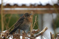 Pffft...more snow again! (vanstaffs) Tags: bird female turdusmerula blackbird koltrast