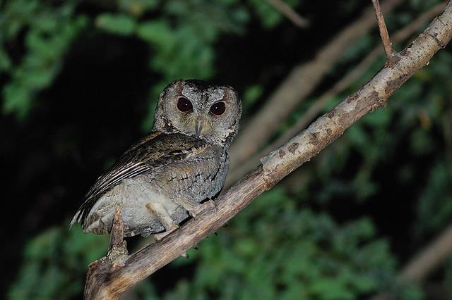 領角鴞 Collard Scops Owl @高雄