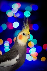 (Kerli'sPhotography) Tags: christmas portrait bird colors pretty bokeh parrot cockatiel tiel
