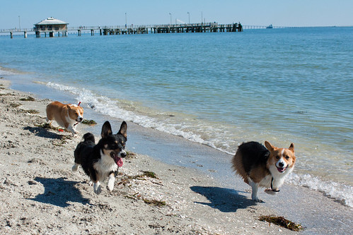 Fort De Soto Corgi Meetup-45