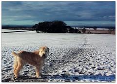 Winter Walkies (zweiblumen) Tags: winter dog pet shropshire sophie wheatenterrier picnik astonhill ndfilter tamron28300mm canoneos50d zweiblumen churchaston canon430exii