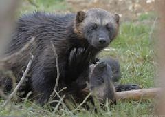 Wolverine pair (gentle lemur) Tags: wolverine whipsnade gulogulo