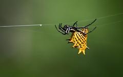 Aranae (Pablo Leautaud.) Tags: fauna mexico spider flora campo unam araa mx arthropoda guerrero ciencias herbario biodiversidad chelicerata aranae colecta pleautaud fcme