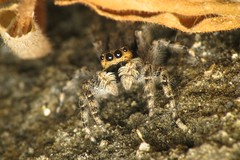 Timid (Nirbendra) Tags: nepal brown macro nature yellow closeup canon garden spider is jumping eyes legs flash powershot soil shade jumper kathmandu hiding starry diffuser jumpingspider s5 timid dcr250 raynox naturephoto canope arthopoda s5is nirbendra