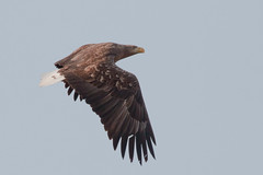 Another WTE - Adult White Tailed Eagle at Yakumo...........