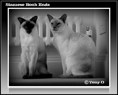 Siamese Book Ends (The Stig 2009) Tags: cats white black cat book o sony siamese tony end bookends 2009 dsc stig 2010 ends bookend iful thestig tx1 tonyo kissablekat kittyschoice catmoments thestig2009
