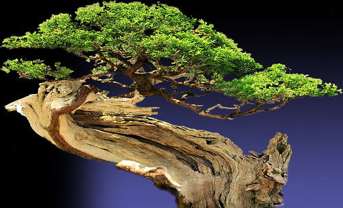 """Bonsai005 • <a style=""""font-size:0.8em;"""" href=""""http://www.flickr.com/photos/30735181@N00/5261954586/"""" target=""""_blank"""">View on Flickr</a>"""