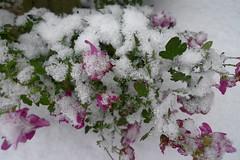 Mums covered (Afgil) Tags: snow plant flower mum bloom chrysanthemum blooming snowcover