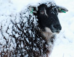 All dressed up and snow place to go (Time Grabber) Tags: portrait snow ice closeup sheep explore fleece wfc blacksheep bejewelled piercedears sheephead eartags timegrabber sheepeye welshbeauty snowcoveredsheep icebindi