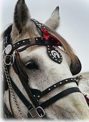 Carriage Horse (ArtCPhotos) Tags: red horse olympus ribbon e3 harness bridle percheron themered 525of2010
