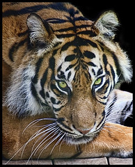 Do not blame God for having created the tiger, but thank him for not having given it wings (Steve Wilson - over 2 million views thank you) Tags: uk greatbritain mountain black beautiful face animal gardens closeup blackbackground wales cat garden sumatra asian zoo bay big nikon feline asia close britain background stripes wildlife tiger small great north conservation bigcat welsh endangered d200 sumatrantiger predator captive critical rare sumatran captivity carnivore colwynbay northwales zoological welshmountainzoo colwyn threatened zoologicalgarden zoologicalgardens nikond200 savethetiger critically platinumheartaward mygearandmeplatinum mygearandmediamond