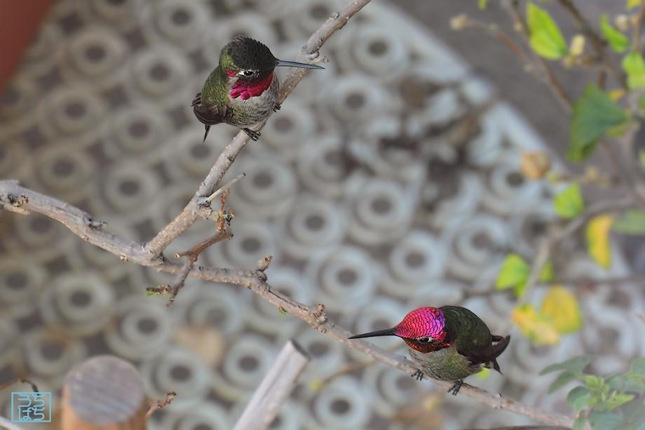 Anna's Hummingbird 122010-2