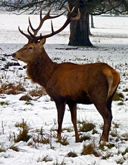 Red deer stag (picqero) Tags: winter england nature animals outdoors wildlife dragondaggerphoto dragondaggeraward