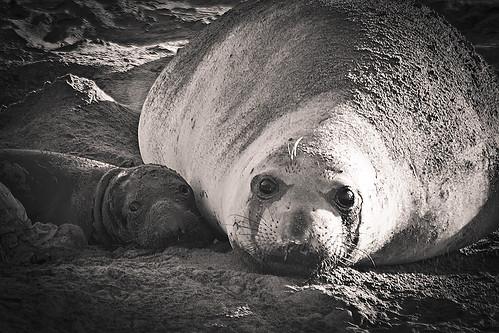 [フリー画像] 動物, 哺乳類, アザラシ科, キタゾウアザラシ, 家族・親子(動物), モノクロ写真, 201012291100