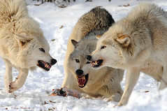 Wolves! (Tony Margiocchi (Snapperz)) Tags: winter food snow cold nikon european feeding fighting wolves timberwolf 400mm tc14eii 400mmf28dii zsl canislupuslupus nikond3 goldwildlife europeantimberwolf