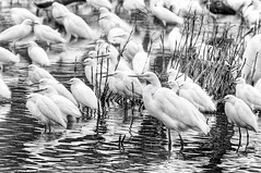 Standing Strong (Sco C. Hansen) Tags: reflection water south low country feathers southern marsh stork egrets lowcountry beaufortcounty stockphotoagency photostockagency