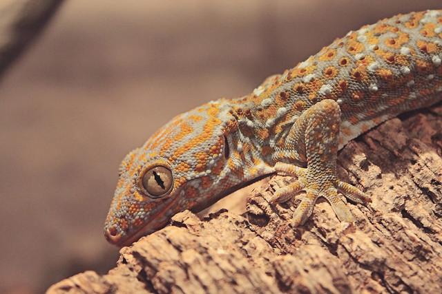 MODS gecko