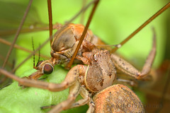 Big catch (Nikola Rahme) Tags: macro 21 handheld crabspider cranefly araneae canoneos5d tipulidae thomisidae diydiffuser canonmpe65 sunpakrd2000