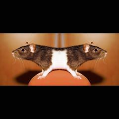 Siamese rats (Spinool) Tags: mirror rat laptop spiegel siamese eaten cable sparkle adapter siam siamesetwins sjors tweeling 2011 mafbeest eerstewerkdag vielwelmee