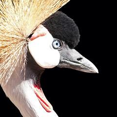 East African Crowned Crane (mclcbooks) Tags: bird closeup denverzoo mygearandme mygearandmepremium mygearandmebronze mygearandmesilver mygearandmegold mygearandmeplatinum mygearandmediamond