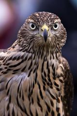 hunter's eyes (gemapozo) Tags: bird eye japan tokyo pentax hawk hamarikyu k5 falconry 浜離宮 smcpfa300mmf45edif 放鷹術 鷹狩